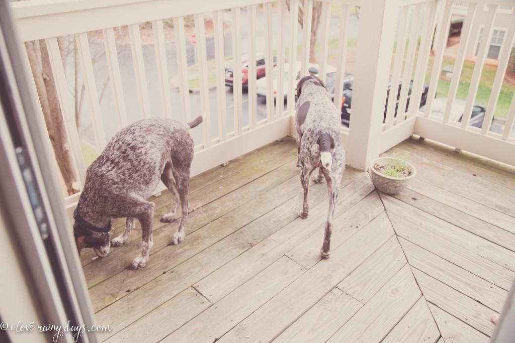 dogs on balcony
